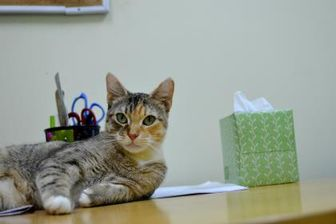 Domestic Shorthair/Domestic Shorthair Mix Cat for adoption in New Orleans, Louisiana - Catalie Portman