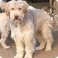 Adopt A Pet :: Mango - Thousand Oaks, CA