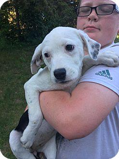 Border Collie/Labrador Retriever Mix Puppy for adoption in Patterson, New York - Oak