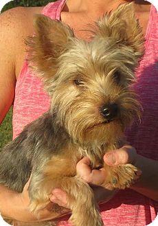 Yorkie, Yorkshire Terrier Puppy for adoption in Allentown, Pennsylvania - Gum Drop