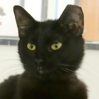 Domestic Shorthair/Domestic Shorthair Mix Cat for adoption in Austin, Texas - Scarlet
