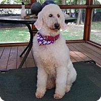 Poodle (Standard) Dog for adoption in Livonia, Michigan - Mirabella - ADOPTION PENDING