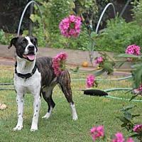 Adopt A Pet :: Macy - Long Beach, CA