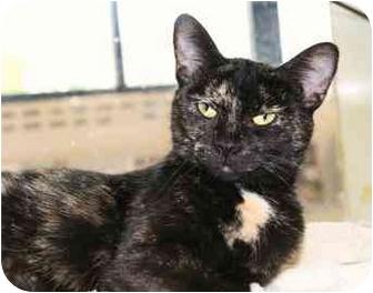 Domestic Mediumhair Cat for adoption in Walker, Michigan - Sally