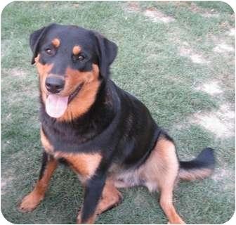 Rottweiler/Labrador Retriever Mix Dog for adoption in Haughton, Louisiana - Badge