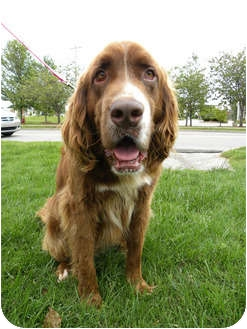 Setter (Unknown Type)/St. Bernard Mix Dog for adoption in Norwich, Connecticut - Chevy
