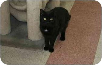 Domestic Shorthair Cat for adoption in Bristol, Rhode Island - Fern