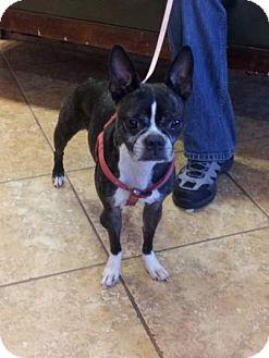 Boston Terrier Dog for adoption in Temecula, California - Nevaeh