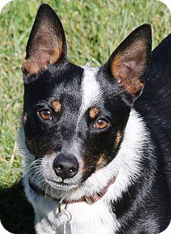 Cattle Dog Mix Dog for adoption in Sacramento, California - Gabe!