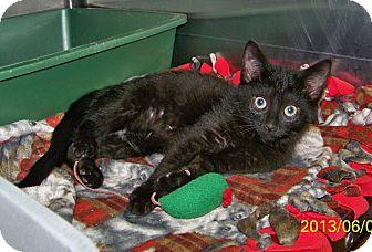 Domestic Shorthair Kitten for adoption in Dover, Ohio - Malcom