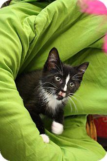 Domestic Shorthair Kitten for adoption in Nashville, Tennessee - Mittens