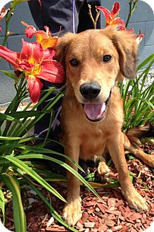 Golden Retriever Mix Puppy for adoption in Brattleboro, Vermont - Opie