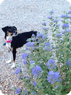 Chihuahua/Terrier (Unknown Type, Small) Mix Dog for adoption in Las Vegas, Nevada - Wendy
