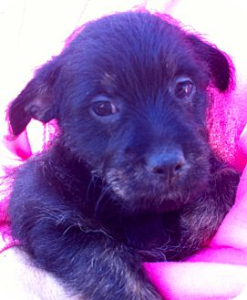 Terrier (Unknown Type, Small) Mix Puppy for adoption in Simi Valley, California - Smokey Bear