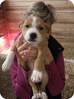 Labrador Retriever Mix Puppy for adoption in Lawrenceville, Georgia - Angelica