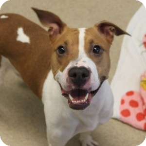 Pit Bull Terrier Mix Dog for adoption in Naperville, Illinois - Bonnie
