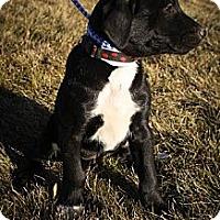 Adopt A Pet :: Cookie SprakleyToes - Broomfield, CO
