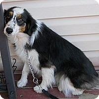 Adopt A Pet :: Tazzi - dewey, AZ