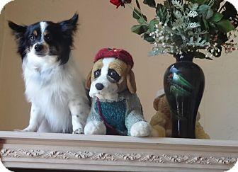 Papillon/Pomeranian Mix Dog for adoption in Encino, California - Gucci Pooch - Courtesy Post