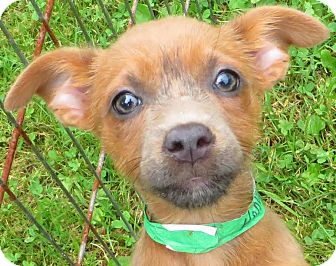 Silky Terrier/Chihuahua Mix Puppy for adoption in Middletown, New York - Honor