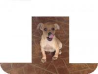 Labrador Retriever/Feist Mix Puppy for adoption in Kendall, New York - Chewie