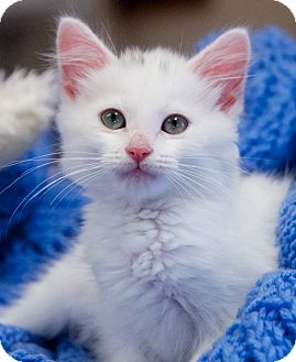 Domestic Shorthair Kitten for adoption in Knoxville, Tennessee - Precious