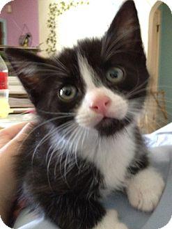 Domestic Mediumhair Kitten for adoption in Colorado Springs, Colorado - Male Kitten 3