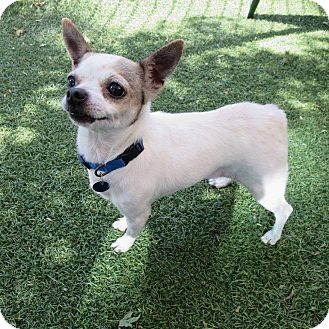 Chihuahua Mix Dog for adoption in Bonney Lake, Washington - Fergie