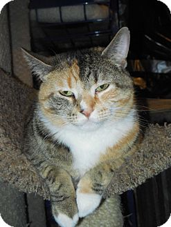 Domestic Shorthair Cat for adoption in Whiting, Indiana - Momma Mia