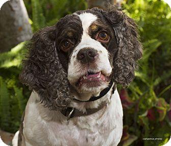 Cocker Spaniel Dog for adoption in Baton Rouge, Louisiana - Cooper