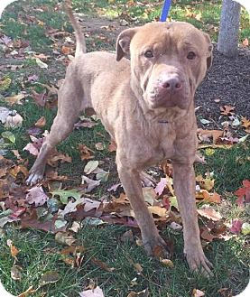 Labrador Retriever/Pit Bull Terrier Mix Dog for adoption in Bloomfield, Connecticut - Kent