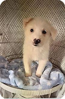 Great Pyrenees/Labrador Retriever Mix Puppy for adoption in Bedminster, New Jersey - Rigby