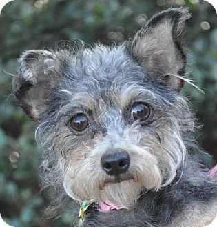Maltese/Terrier (Unknown Type, Small) Mix Dog for adoption in Atlanta, Georgia - Dorie