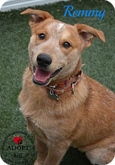 Cattle Dog Mix Dog for adoption in Youngwood, Pennsylvania - Remmy