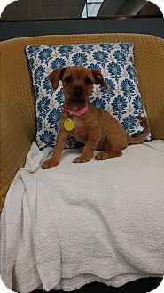 Cairn Terrier/Dachshund Mix Puppy for adoption in Davie, Florida - Maggie