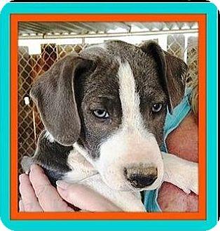 Australian Cattle Dog/Australian Shepherd Mix Puppy for adoption in Rancho Cucamonga, California - Jolie