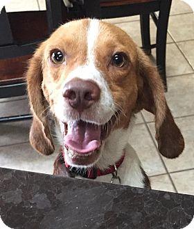 Beagle Mix Dog for adoption in Minneapolis, Minnesota - Eddy