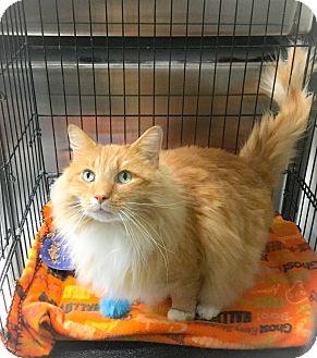 Domestic Mediumhair Cat for adoption in Webster, Massachusetts - Fluffy