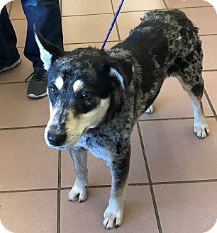 Catahoula Leopard Dog/Australian Shepherd Mix Dog for adoption in Las Vegas, Nevada - Molly