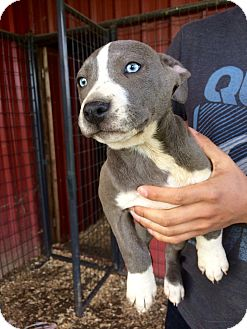American Pit Bull Terrier Mix Puppy for adoption in Salem, Oregon - Blue
