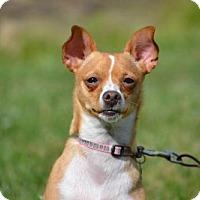 Chihuahua/Italian Greyhound Mix Dog for adoption in Fairfield, Ohio - Sally