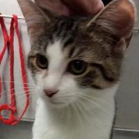 Adopt A Pet :: Spock - Paducah, KY