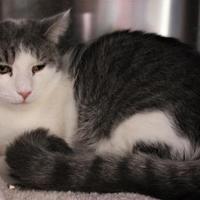 Adopt A Pet :: Gumpy - Venice, FL