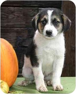 Labrador Retriever Mix Puppy for adoption in Ladysmith, Wisconsin - Dexter