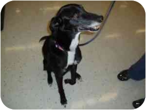 Greyhound/Border Collie Mix Dog for adoption in College Station, Texas - Lacy