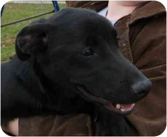 Labrador Retriever Mix Dog for adoption in Avon, New York - Raven