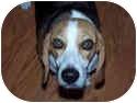 Beagle Mix Dog for adoption in Phoenix, Arizona - Hunter Ares