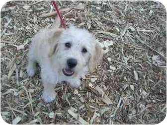 Spaniel (Unknown Type)/Poodle (Miniature) Mix Puppy for adoption in Fair Oaks Ranch, Texas - Oliver