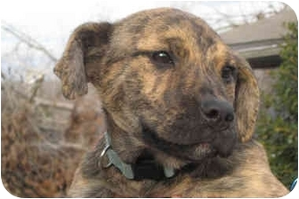 Mountain Cur Mix Puppy for adoption in Plainfield, Connecticut - MOCHA