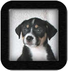 Australian Shepherd/Border Collie Mix Puppy for adoption in Poway, California - Geisha Girl